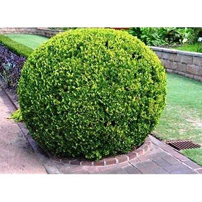 "Japanese Boxwood Buxus micropylla Hardy Healthy Evergreen 6 Plants in 2.5"" Pots : Garden & Outdoor"