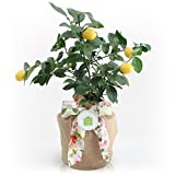Housewarming Meyer Lemon Gift Tree by The Magnolia Company - Get Fruit 1st Year, Dwarf Fruit Tree with Juicy Sweet Lemons, NO Ship to TX, LA, AZ and CA