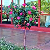 Pink Knock Out Rose Tree