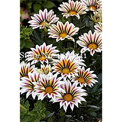 Kasuki 100 Pcs Gorgeous Gazania Rigens Bonsai, Rare Beautiful Flower Plant Popular Africa Bonsai for DIY Home Garden Supplies Bonsai - (Color: 16): Garden & Outdoor