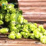 2016 20pcs Humulus lupulus Semi piante formano Rizomi raro fiore luppolo Seed vino prime erbe Bonsai impianto Casa Giardino nave libera