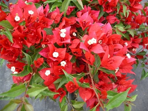 Rose Gardens Rare Dwarf Red Bougainvillea Spectabilis live plant...