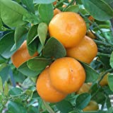 "3""- 6"" MEIWA KUMQUAT TREES REAL LIVE CITRUS FRUIT LANDSCAPING STARTER PLANTS"