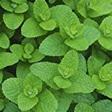 Flavorful Apple Mint Herb Starter Plant