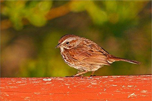 British Columbia, Song Sparrow Bird, Bridge Raining by Larry Ditto/Danita Delimont Laminated Art Print, 33 x 22 inches
