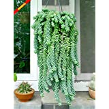 Plentree Seeds Package: Sedum Burrito, 3 X Rooted Cuttings Approx. 7 cm Long (Succulent/Hanging Plant/Ho