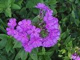 Phlox 'Robert Poore' (Phlox paniculata)