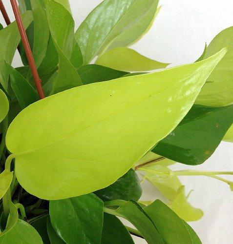 Ivy Leaf Pedestal (Neon Devil's Ivy - Pothos - Epipremnum - 4
