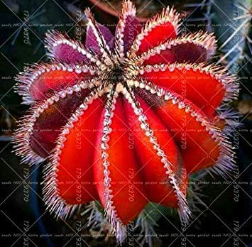 Die Reinigen Kaktus Stã¼cke Strahlung Lady Fash Wahre Hausgarten Luft Sukkulenten 100 Blumensamen Fã¼r Feigenkaktus Verhindern Topfpflanze Bonsai Samen 10 CwpqOX6npx