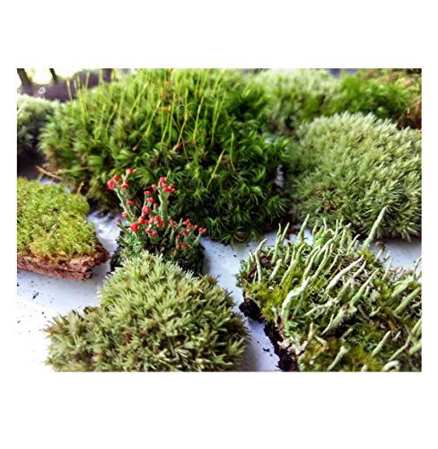Tin Roof Treasure Super Fairy Garden Assortment Moss and Lichen with Miniature Fairy Terrarium, 6