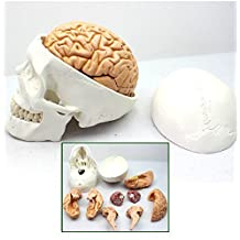 Doc.Royal 1:1 Human Skull Brain model Brain Anatomy Neurologist Anatomical Model