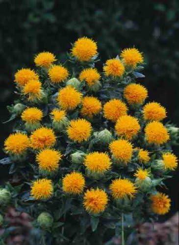 Amazon Com 300 Safflower Saffron Carthamus Tinctorius Yellow