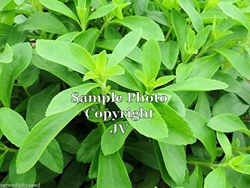 (Stevia rebaudiana Candyleaf Tropical Seeds Sweet Leaves Tender Perennial Shrub 100 Seeds with Tracking)