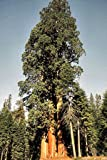 "Seeds and Things Giant Sequoia sempervirens ""California Redwood"" 15 Seeds - BONSAI –"