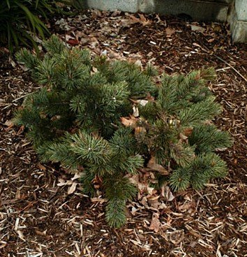 20 Seeds Bristlecone Pine Tree - Great Bonsai by Seeds and Things