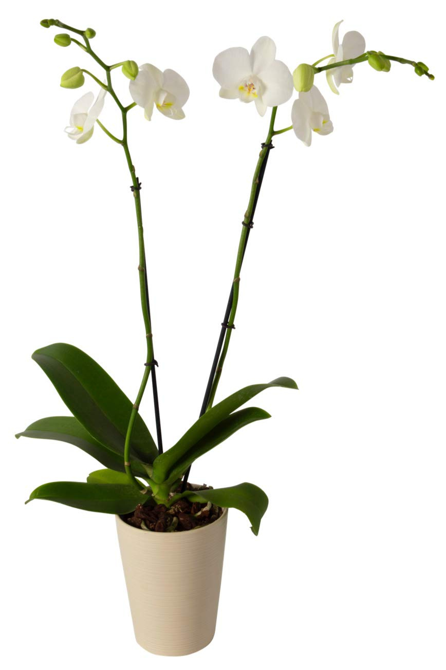 Color Orchids AMZ1101DG2W Live Blooming Double Stem Phalaenopsis Orchid Plant in Ceramic Pot, 20'' x 24'', White Blooms
