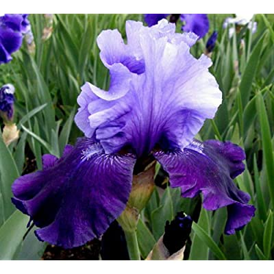 1 FATAL ATTRACTION - BEARDED IRIS Rhizome / Bulb / Root -ORDER for FALL PLANTING : Garden & Outdoor