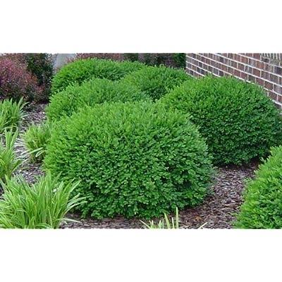AchmadAnam - Live Plant Green Velvet Boxwood - in Gallon Pots : Garden & Outdoor