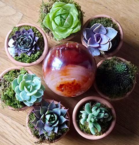 20 Plants of Mini Succulent Planted Pots by Coral LLC (Image #3)