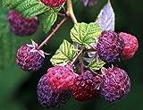 "Brandywine Everbearing Purple Raspberry Plant - 4"" Pot"