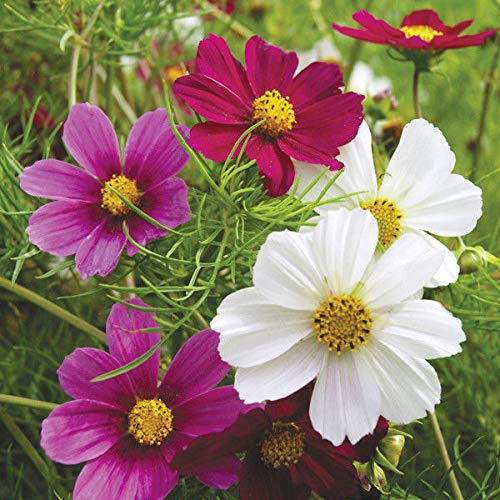 (Cosmos Versailles Mix Seed Annual Mixed Colour Blooms Cut Flower Good vase Life)