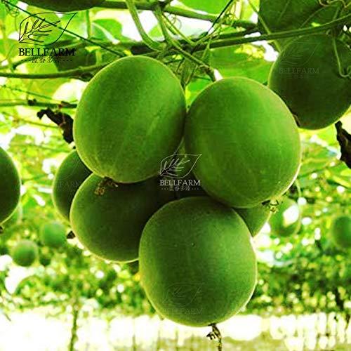WANCHEN Chinese Luo Han Guo Seeds 50 PCS Heirloom Monk Fruits Herbs Bonsai Siraitia Grosvenorii New Fresh for Garden -