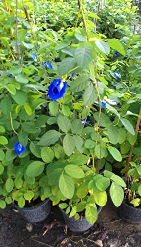 Blue pea flower Butterfly pea Flower 1000 seeds, 30 pcs thread by Is yourself (Image #1)
