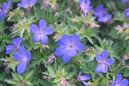 Johnson's Blue Geranium - Cranesbill - Heavy Established Roots - Perennial - 1 Qt Potted by Growers Solution