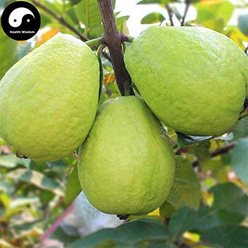 60pcs: Buy Real Guava Fruit Tree Seeds Plant Fruit psidium guajava Grow Fan shi liu by SVI (Image #2)