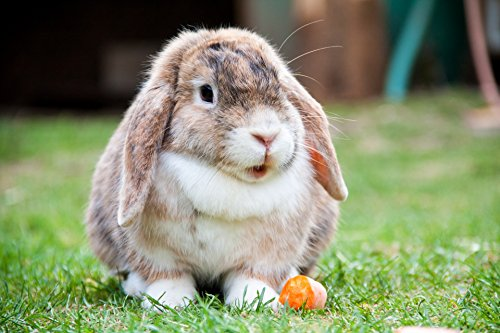 Home Comforts LAMINATED POSTER Lop Eared Rabbit Animals Post