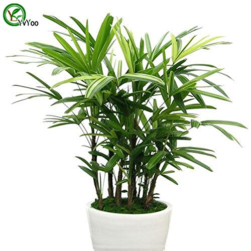 Hot Sale! Office desks plant Palm Bamboo Seeds Bonsai Tree Seeds Very Beautiful Indoor Tree Home Garden plant 30 particles / bag seeds of hope Bamboo Palm Seeds