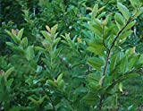 Fresh Guava leaves - 35 pcs - Grade A Organic - Certified fresh from Florida - ONLY picked & packed after an order is placed - FAST SHIPPING