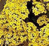 Kalanchoe blossfeldiana yellow flower, rare mesembs succulents seed 15 SEEDS
