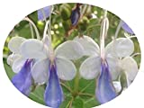 BLUE BUTTERFLY Bush Tropical Live Plant Clerodendrum Ugandense Unique Unusual Shaped Flower Starter Size Emeralds TM