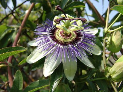 - passion, BLUE passion flower VINE 12 SEEDS! GroCo
