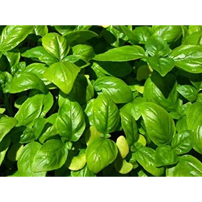 Sweet Basil Seeds, Large Leaf Italian Basil Seeds Heirloom, Organic Non-GMO Vegetable Seeds Home Garden : Garden & Outdoor
