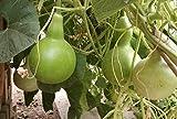 Large Calabash or Bottle Gourd 10 Seeds