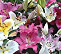 Lilium Mixed Oriental Lily Bulbs (Pack of 5) - Fragrant Blooms - 5 Huge Perennial Flower Bulbs