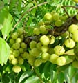 "9EzTropical - Tropical Gooseberry - Phyllanthus acidus - Cây chùm ru?t - 1 Feet Tall - Ship in 4"" Pot"