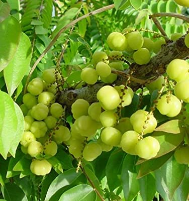 9EzTropical - Tropical Gooseberry - Phyllanthus acidus - Cây chùm ru?t - 2 to 3 Feet Tall - Ship in 3 Gal Pot