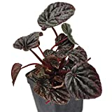 Peperomia caperata, Ripple incl. Heat Pack