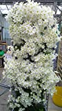 100pcs/bag Clematis seeds flowers clematis vine