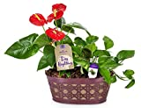 #3: Hallmark Flowers Happy Hearts Anthurium And Pothos Garden in 10-Inch Purple Tin Container