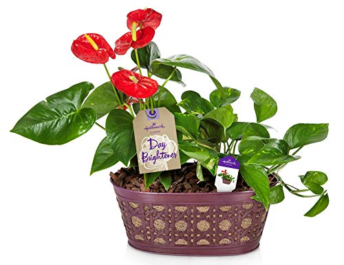 Hallmark Flowers Happy Hearts Anthurium And Pothos Garden in 10-Inch Tin Container