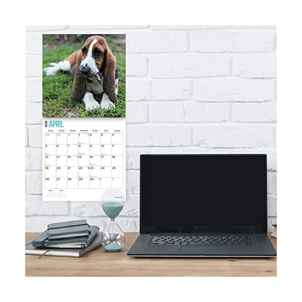 2020 Basset Hounds Wall Calendar by Bright Day, 16 Month 12 x 12 Inch, Cute Dogs Puppy Animals Hunting Canine 3