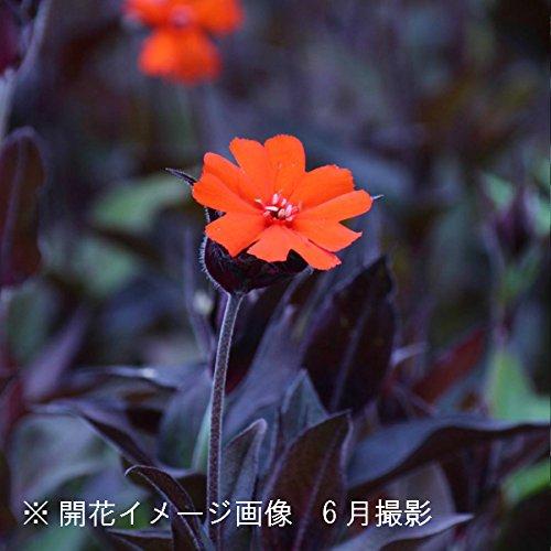 山野草:マツモトセンノウ(松本仙翁) 9cmポット苗100ポット【紫桜館山の花屋】 B072ZN1Q1H