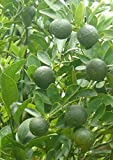 calamansi/calamondin Seeds 30 pcs (citrfortunella microcarpa)