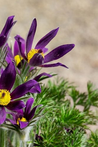 Pulsatilla Vulgaris Pasque Flowers Blooming in the Garden Journal: Take Notes, Write Down Memories in this 150 Page Lined Journal