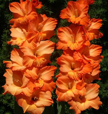 (5) Spectacular Flowering Perennials, Sunkissed Gladiolus Bulbs, Plants, Flowers