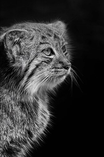 Pensive Pallas Cat Portrait in Black and White Wildcat Photography Journal: 150 Page Lined Notebook/Diary